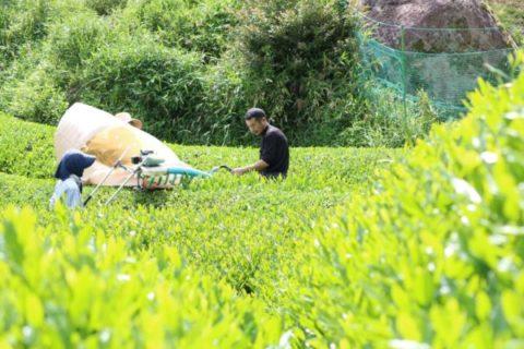 有機栽培・自然栽培のお茶づくりをする様子